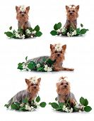 Yorkshire Terrier with flower in front of a white background, studio shot poster