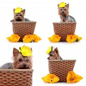 Yorkshire Terrier in basket in front of a white background, studio shot poster