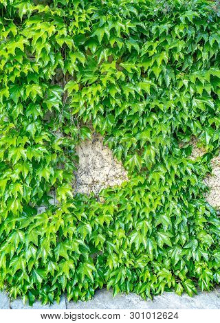 Stock Photo Beautiful Background Of Green Ivy Creeper On Cement Wall