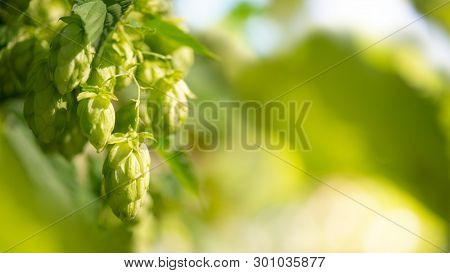 Green Hop Cones Closeup on the Blurred Background.