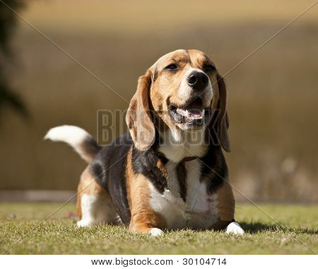 purebred beagle in outdoor setting poster