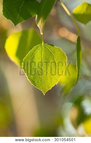 A Peaceful, Green Aspen Leaf Glows In The Afternoon Sunlight.