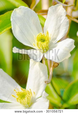 The Clematis Plant Is A Popular Flower In Domestic Gardens Due To Its Profuse Floral Displays And Be
