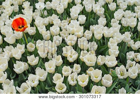Group Of White Tulips And One Red (orange) Flower. Unique, Standing Out Of The Crowd And Different C