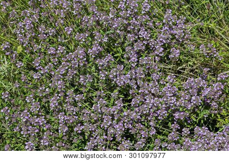 Garden Thyme, Thymus Serpillorum, Breckland Thyme, Wild Thyme  Or Creeping Thyme Blossoming In The F