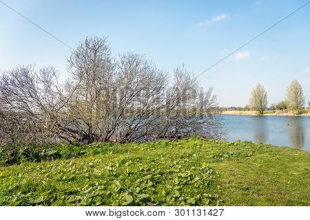 Large Shrub With Many Bare Branches On The Edge Of A Dutch Lake. Spring Has Begun Only Recently.