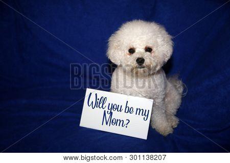 Bichon Frise Dog. Will you be my mom? sign.  Blue velvet background. Dog adoption concept.