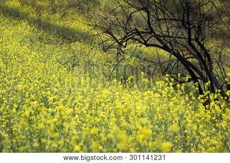 Yellow Superbloom Of Wild Mustard Flowers And Orange Painted Lady Butterflies Cover Burned Hillside