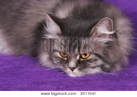 Beautiful Persian gray cat posing and relaxing for photo poster