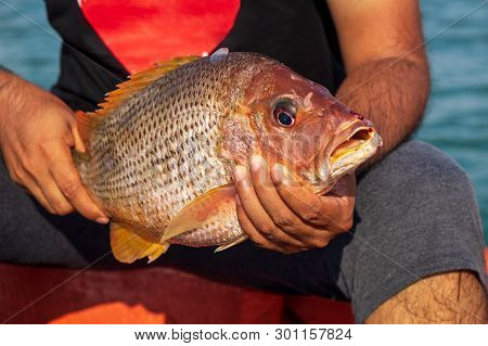 Fisherman Holding Medium Size Snapper Fish After Catch Form The Sea.
