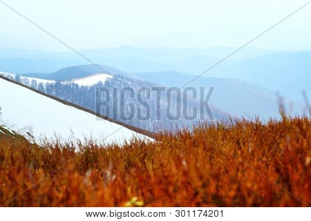 Spring snowy hills with red blueberry bushs in Carpathian mountains. Landscape photography