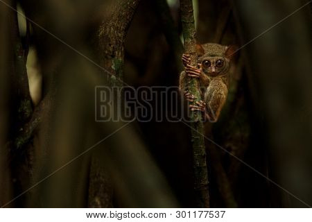 Spectral Tarsier, Tarsius, portrait of rare endemic nocturnal mammal trying to catch and eat grasshopper, cute primate in large ficus tree in jungle, Tangkoko National Park, Sulawesi, Indonesia poster