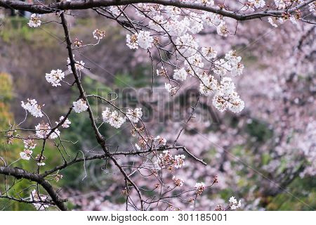 Closed Up Shot Of Sakura Cherry Blossom Flower And Branches