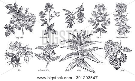 Medical Plants And Herbs Set.