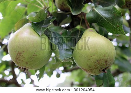 Two Pears, Pyrus Communis, Hanging On A Tree With A Background Of Light Sky And Leaves Of The Same T