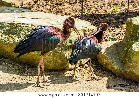 Couple Of Glossy Ibises Preening Each Others Feathers, Birds Taking Care Of Each Other, Typical Bird