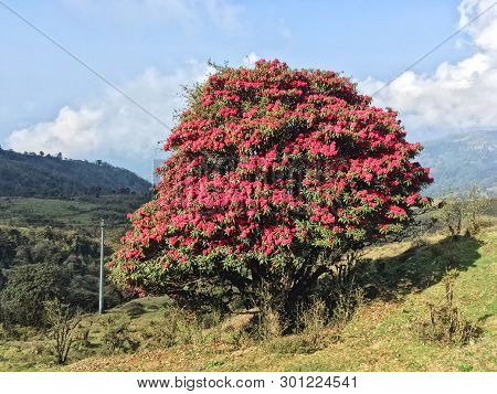 Blurred Images Of The Rhododendron Forest On Phalut ,close Up Rhododendron On Mountain Nepal -