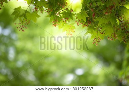 Close Up Beautiful View Of Nature Little Maple Green Leaves On Blurred Greenery Tree Background With