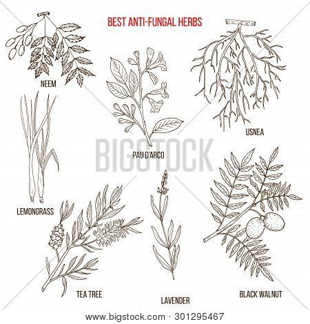 Best Anti-fungal Herbs Set. Hand Drawn Botanical Vector Illustration