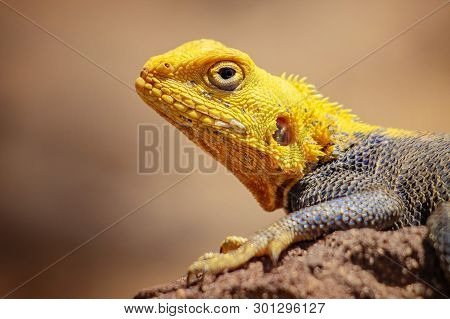 Close Up Photo Of Yellow And Blue Colored Lizard, Rock Agama. It Is Wildlife Photo Of Animal In Sene