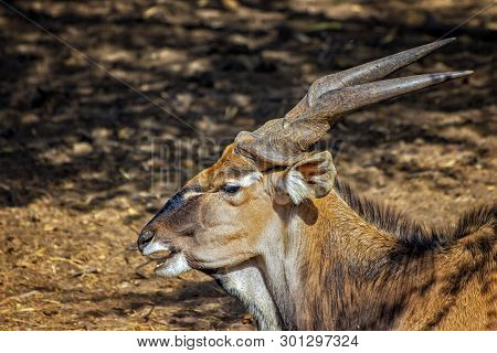 Close Up Photo Of Giant Eland, Known As The Lord Derby Eland In The Bandia Reserve, Senegal. It Is W