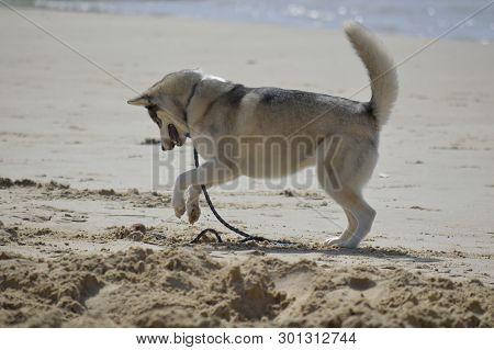 Happy Husky Dog At The Gordon Beach. Tel Aviv, Israel.