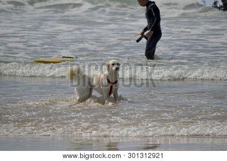 Tel Aviv, Israel - April 23, 2017: Happy Husky Dog And Surfer At The Gordon Beach. Tel Aviv, Israel