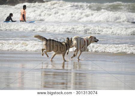 Happy Husky Dogs And Surfers At The Gordon Beach. Tel Aviv, Israel