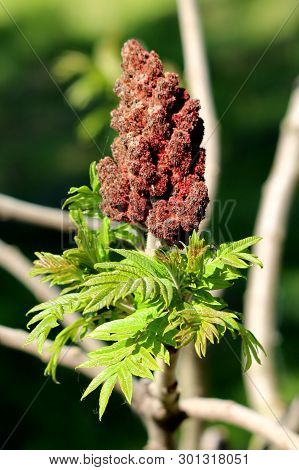 Fresh Green Leaves Of Staghorn Sumac Or Rhus Typhina Dioecious Deciduous Tree With Dark Red Partiall