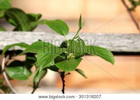Hardy Kiwi Or Actinidia Arguta Perennial Vine With Dark Green Leathery Leaves And Small Hardy Kiwifr