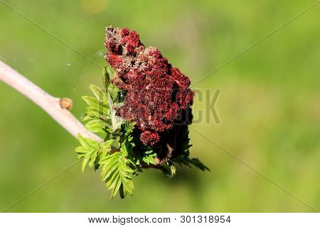 Staghorn Sumac Or Rhus Typhina Dioecious Deciduous Tree Branch With Fresh Light Green Leaves And Dar