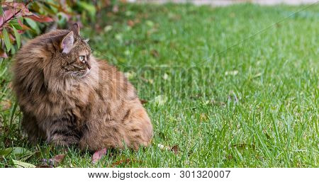 Lovable long haired cat of siberian breed outdoor on the grass green, hypoallergenic pet of livestock poster