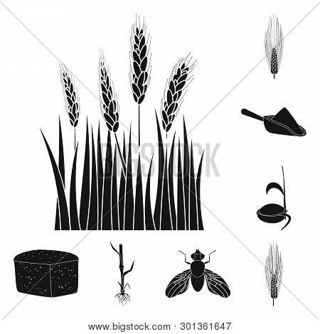 Vector Design Of Rye And Plant  Sign. Set Of Rye And Corn Stock Vector Illustration.
