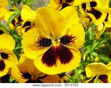 Yellow Violet (Viola)