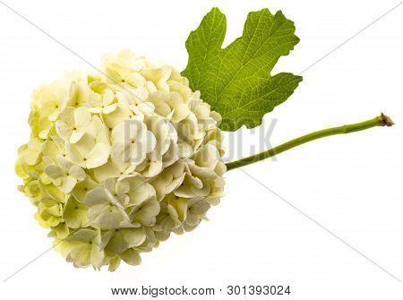 White Viburnum Flowers In The Garden Close Up - Viburnum Opulus Common Name Guelder Rose