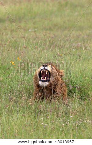 Löwen In Ngorongoro Krater-Tansania