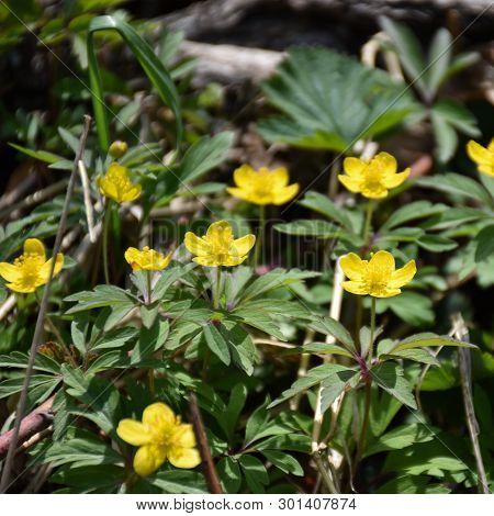 Beautiful Sunlit Blossom Yellow Wodd Anemones Closeup