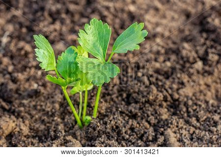 Young Leaves Of Celery In The Garden. Plant Seedlings. Close Up. Young Seedlings Of Celery