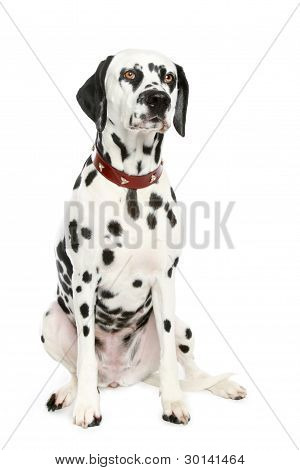 Dalmatian puppy in front of a white background poster