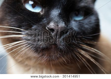 Siamese Cat Nose And Snout Macro Close-up