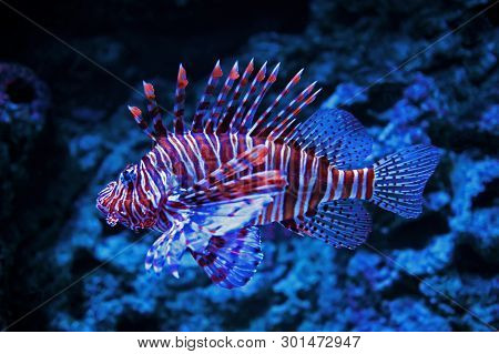 Background With Close Up Of Beautiful Lionfish