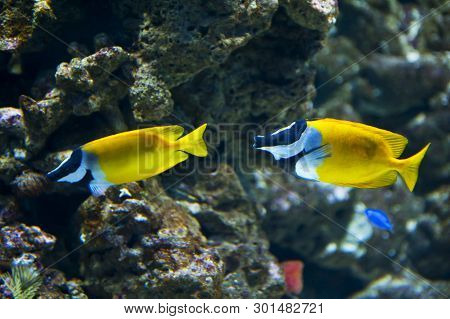 Background With Two Colorful Beautiful Foxface Rabbitfish