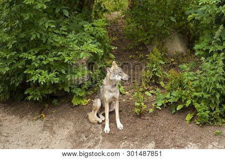 Copenhagen, Denmark - July 3, 2014: Wolf In Copenhagen Zoo In Copenhagen