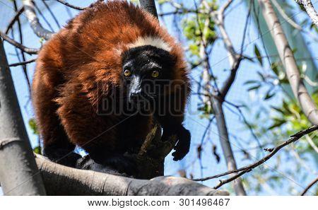 Closeup Portrait Of A Cute Solo Red-bellied Lemur (eulemur Rubriventer) In Captivity In A Reserve In