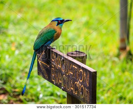Blue-Crowned Motmot (Momotus momota) in Rincon de la Vieja National Park in Costa Rica