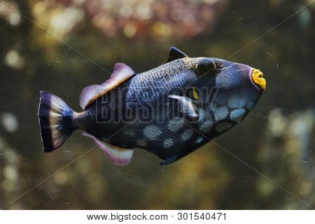 Clown triggerfish (Balistoides conspicillum), also known as the bigspotted triggerfish.