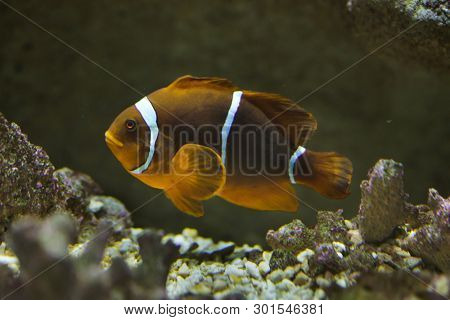 Spine-cheeked anemonefish (Premnas biaculeatus), also known as the maroon clownfish.