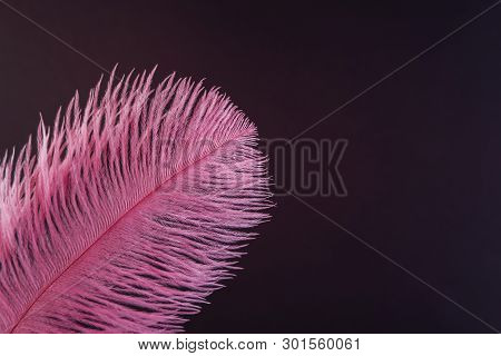 Pink feather close up. Fashion, zoology, ornithology magazine cover concept. Exotic, tropical bird macro feather on black background. Accessories, clothes decoration artificial material texture poster