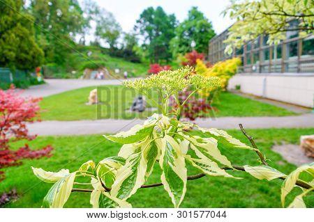 In The Garden, Flowering Maple Ash, Or American - Acer Negundo L.