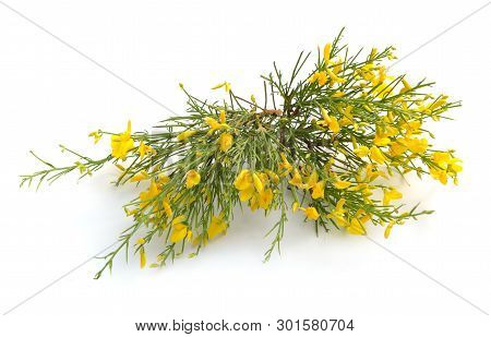 Genista Corsica Flowers Isolated On White Background